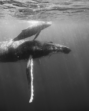 A mama humpback whale and her calf in the warm waters of the South Pacific. Vava'u, Tonga. Black & white.