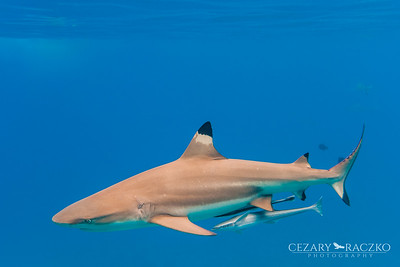 Blacktip Reef Shark (Carcharhinus melanopterus) and Live Sharksuckers (Echeneis naucrates)