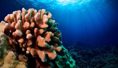 Cauliflower Coral - ko'a (Pocillopora meandrina)