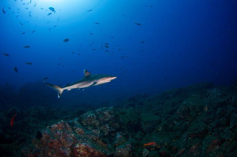 Silvertip Shark, Carcharhinus albimarginatus