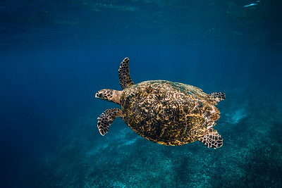 Sea turtle swim in blue ocean. Green sea turtle underwater