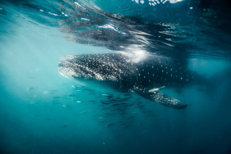 A whale shark swims in shallow water off the coast of La Paz, Mexico.