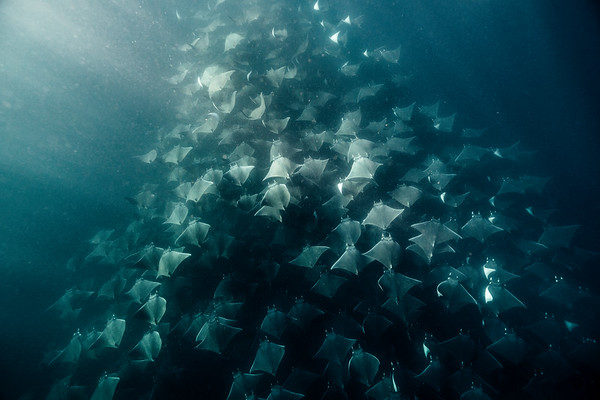 Hundreds of mobula rays glide gracefully underneath me off the coast of Magdalena Bay, Mexico.