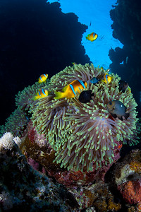 Clown fish family