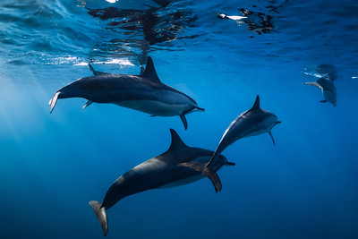 Family of Spinner dolphins in tropical ocean with sunlight. Dolphins in underwater