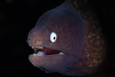 Jevenile moray eel