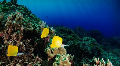 Common Longnose Butterflyfish - Lauwiliwili nukunuku 'oi'oi (Forcipiger flavissimus)