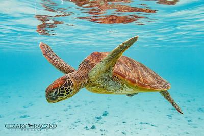 Chelonia mydas (Green Sea Turtle)