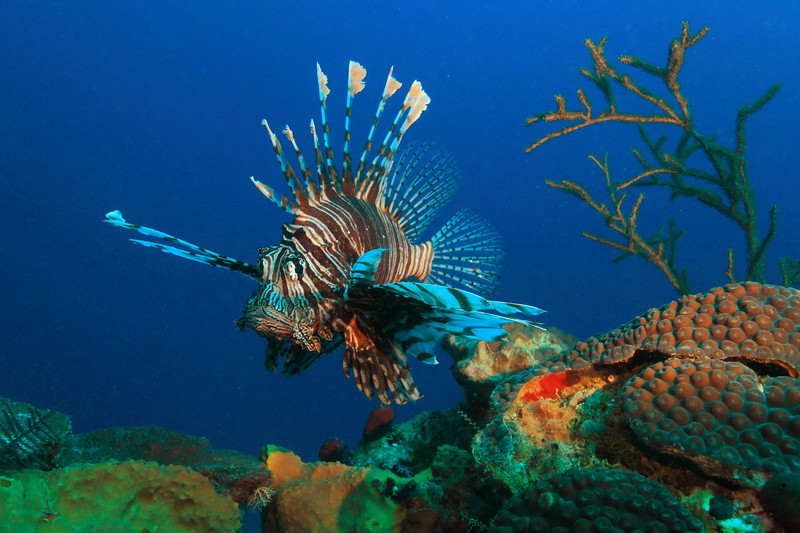 Lionfish and Ree