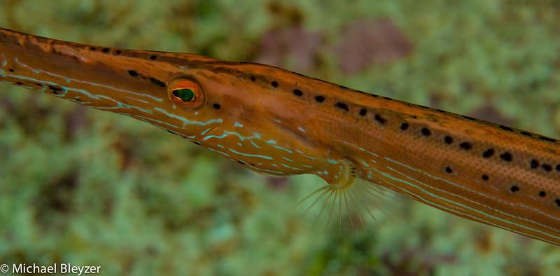 Trumpet fish.