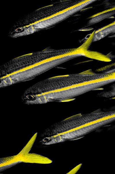 Yellowstripe Goatfish (Mulloidichthys flavolineatus)