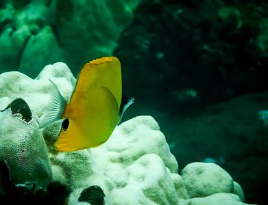 Yellow Longnose Butterfl y Fish
