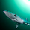 Blue shark in green water