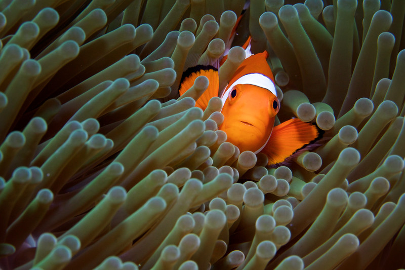 False Clowfish, macro.