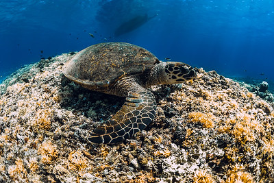 Sea turtle floating over corals in underwater ocean.