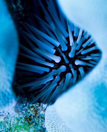 Sea Urchin, Hawaii