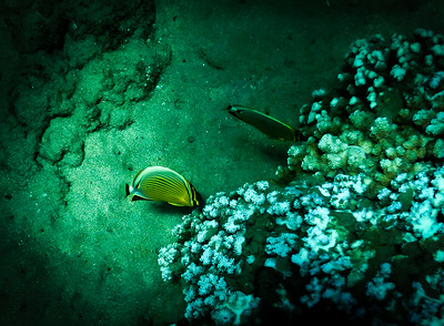 Pair of Butterfly Fish Feeding
