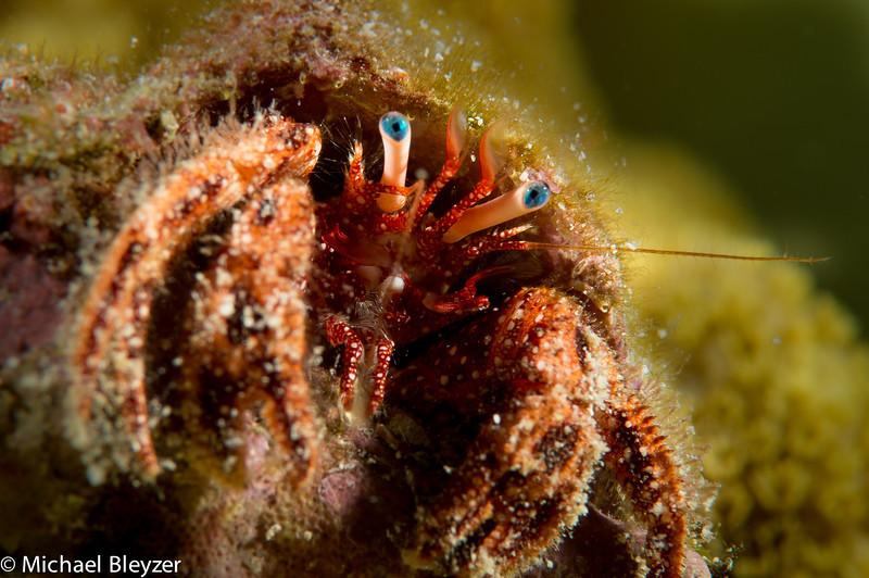 Blue eyed hermit crab.