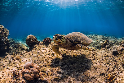 Turtle swim over coral bottom in underwater ocean.
