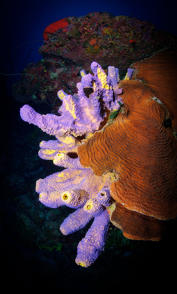 Branching Tube Sponge (Pseudoceratina crassa)