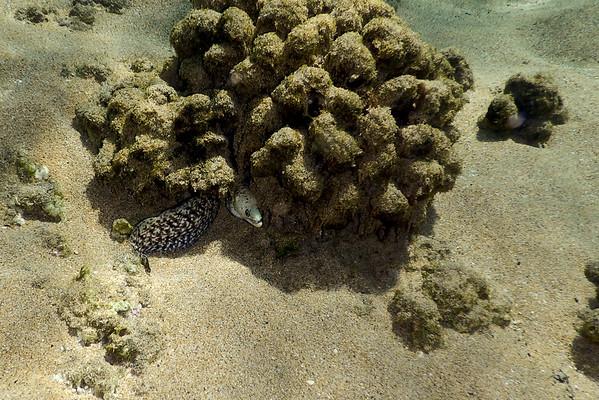 Moray Eel at Kahekili Beach