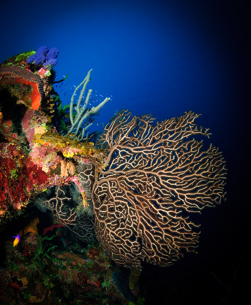 Gorgonian Sea Fan (Anella mollis)