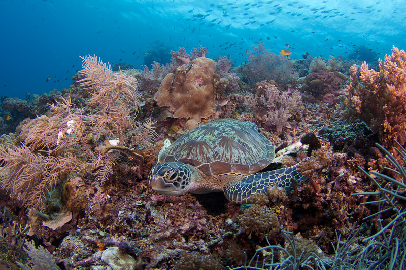 Coral Triangle Green Turtle