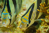 Banded butterfly fish being cleaned by Pederson cleaner shrimp.