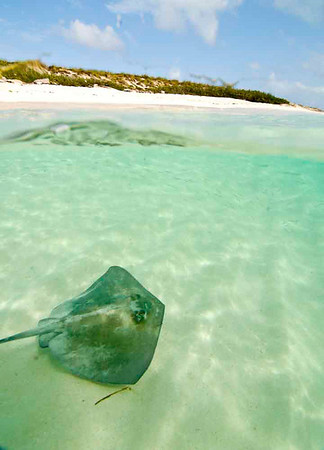 Over/Under View of Southern Stingray, Turks & Caicos