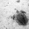 Green Sea Turtle, Buck Island, USVI
