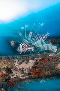 Lionfish Portait