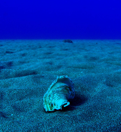 Conch on Black Sandy Bottom, Hawaii