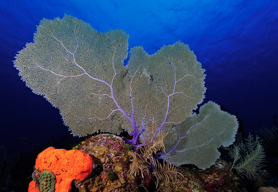 Common Sea Fan (Gorgonia ventalina)
