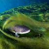 A bowfin, Amia calva, hides in a mat of Lyngbya algae