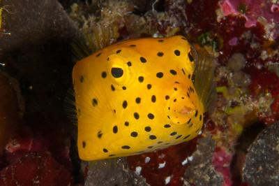 Yellow Spotted Box Fish