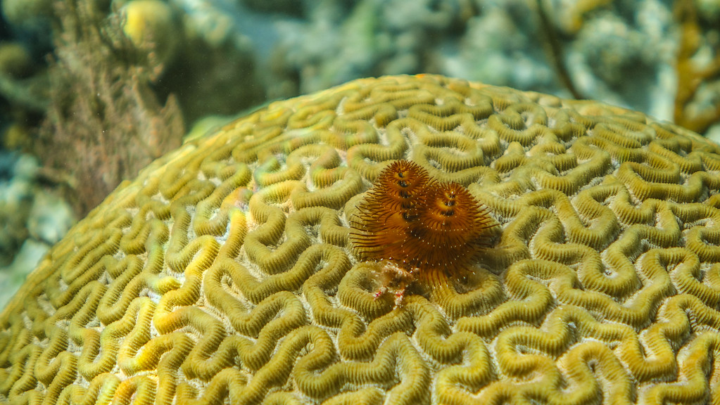 Christmas Tree Worm at Blue Hole