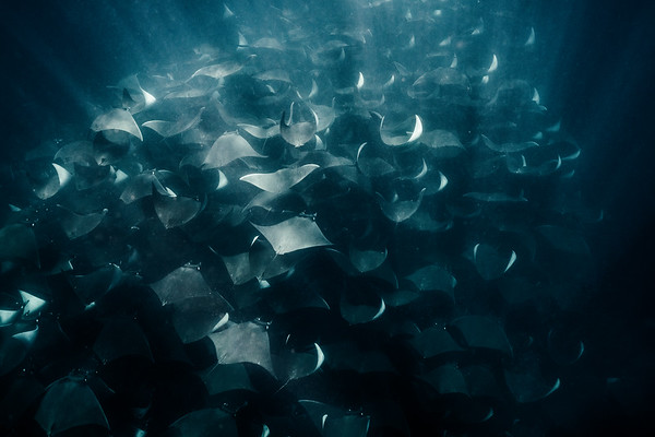 Hundreds of mobula rays glide peacefully under the surface. Magdalena Bay, Mexico.