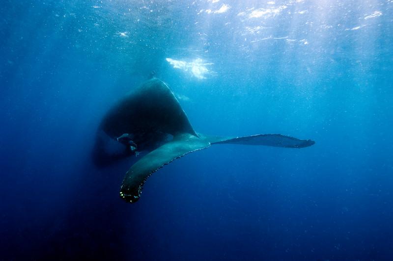 Humpback Whale, St Thomas USVI