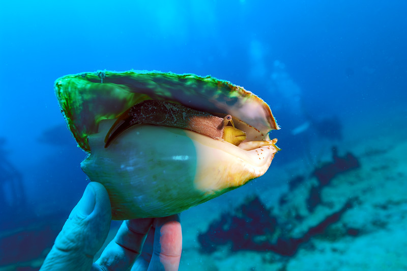 Conch in Shell