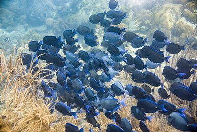 Blue Tang Commute