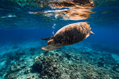 Sea turtle in blue ocean. Green sea turtle underwater