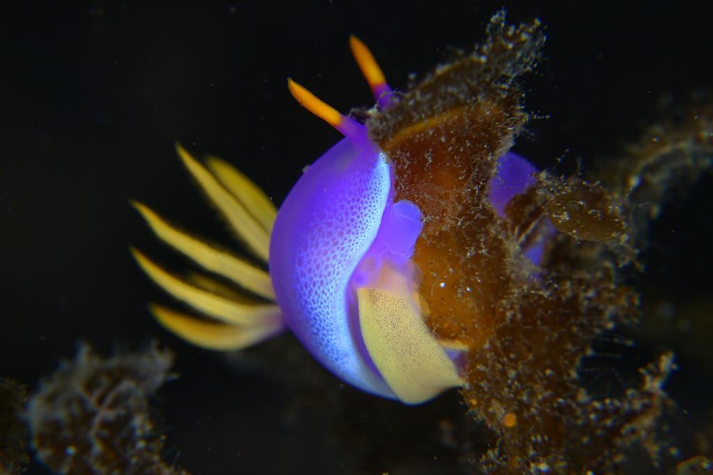 シンデレラウミウシの産卵
