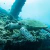 Tulamben turtle