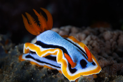 Nudibranch, Philippines