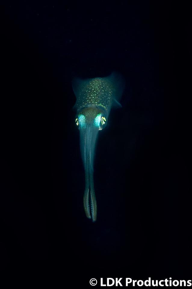 Squid in the Black