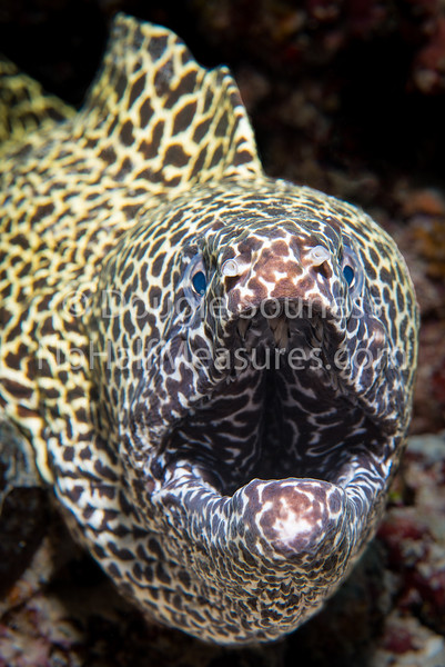 Spotted Eel