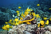 A yellow trumpetfish, aulostomus chinensis,  feeding amoungst a cloud of yellow tang, zebrasoma flavescens, convict tang, acanthurus triostegus, and goldring surgeonfish, ctenochaetus strigosus, on a hard coral reef in Kona, Hawaii, Big Island, Pacific