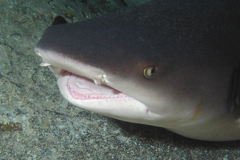 White tip reef shark, Triaenodon obesus, Big Island, Hawaii, Pacific