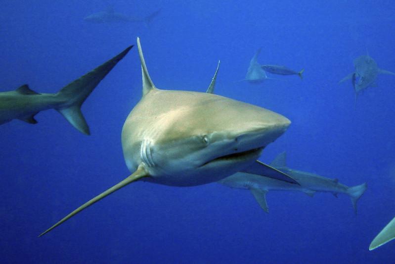 Schooling galapagos sharks, carcharhinus galapagensis, Oahu, Hawaii, Pacific