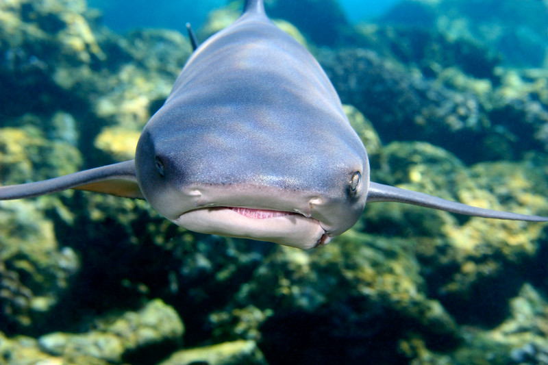 White tip reef shark, triaenodon obesus, with fishing line damage to the left side of his mouth, Big Island, Hawaii, Pacific
